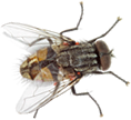 Fly, insect, bug, wings, eyes, thorax,
