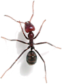 Ant, insect, bug, legs, eyes, thorax,